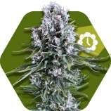 Northern Lights XL Automatic