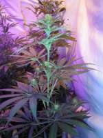 Bild von BuzzerOrganicSeeds (Amsterdams Magic)