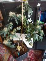 Pic for Sour Krypt (DNA Genetics Seeds)
