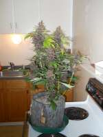 Pic for Dark Purple Auto (Delicious Seeds)