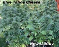 Bild von New420Guy (Blue Tahoe Cheese)