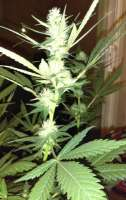 Bild von New420Guy (Platinum Cookies)