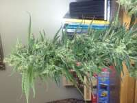 Pic for Auto Acid (Paradise Seeds)