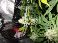 Pic for Mendocino Skunk (Paradise Seeds)