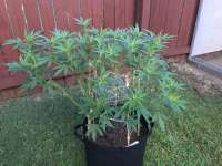 Pic for Super Deluxe (Southern Star Seeds)