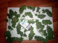 Pic for Moon Walker Kush (Spliff Seeds)