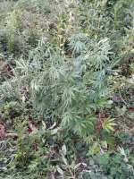 Pic for Power Plant (Spliff Seeds)
