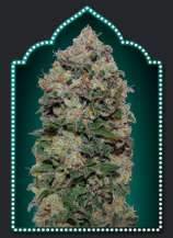 00 Seeds Bank Northern Lights