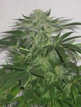 ABC Seeds Austrian Queen