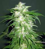 Advanced Seeds Ice Kush