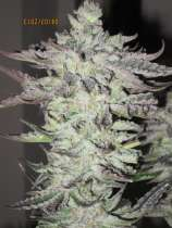 Alien Genetics Seven Ghost