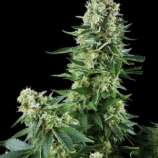 Amaranta Seeds White Widow