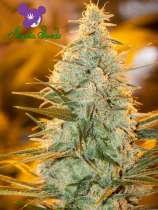 Anesia Seeds Amnesia Flash