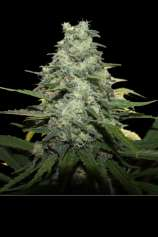 Apex Seeds Blue Monkey