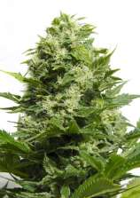 Big Buddha Seeds Cheese