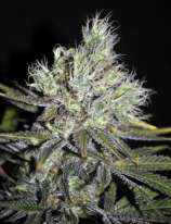 CBD S\'n\'S Widow