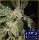 Ceres Seeds White Panther