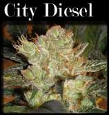 CopyCat Seeds City Diesel