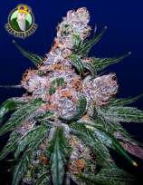 Crop King Seeds Blueberry