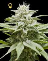 DNA Genetics Seeds IsLAnd