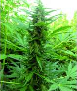 Dopamine Seeds Power Full Auto