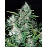 Dutch Quality Seeds Katyusha