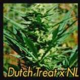 East Island Seeds Dutch Treat x Northern Lights