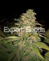 Expert Seeds Critical Blue Auto