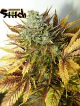 Flash Seeds Purple Sirius Kush