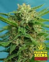 Freedom Seeds Smokey Bear Auto