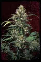 Arjan\'s Strawberry Haze