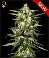 Green House Seeds Auto Jack Herer