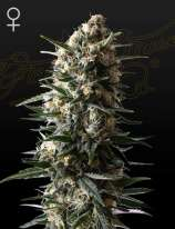 Green House Seeds Bubba Slush
