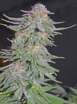 Greenbud Seeds White Widow x AK Early Version