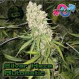 Growers Choice Silverhaze Autoflowering