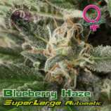 Growers Choice Superlarge Blueberry Haze Auto