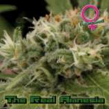 Growers Choice The Real Amnesia