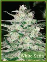 Mandala Seeds White Satin