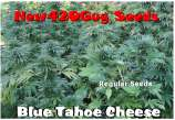 New420Guy Seeds Blue Tahoe Cheese