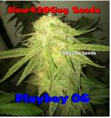 New420Guy Seeds Playboy OG Kush
