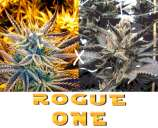 New420Guy Seeds Rogue One