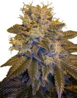 Next Generation Seed Company Grapefruit Kush
