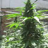 Original Sensible Seeds Cheese Auto