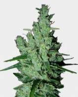 Original Sensible Seeds Super Silver Haze