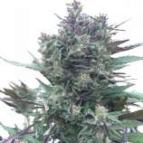 PEV Seeds Bank Piensa en Blueberry