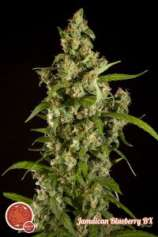 Philosopher Seeds Jamaican Blueberry Bx