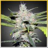 Plantamaster Seeds Bubble Gum