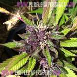 Purple Caper Seeds Chocolate Fire