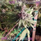 Purple Caper Seeds Cookie Lady
