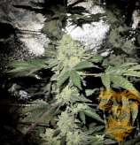 Real Gorilla Seeds Auto Real Gorill4